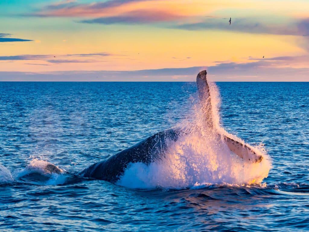 Humpback Whale breaching in deep blue sea by Grand Solmar Vacation Club