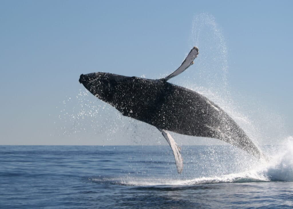 Humpback whale calf breaching in Los Cabos